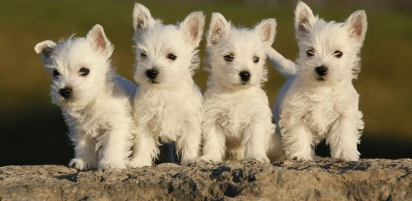west-highland-white-terrier