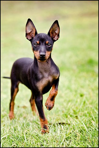 Toy terrier inglés