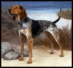 American english coonhound o Coonhound inglés