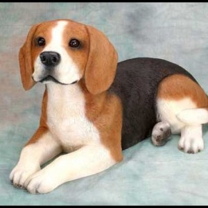 North Country beagle, (beagle del Norte)