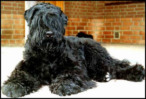 Terrier negro ruso o Tchiorny terrier