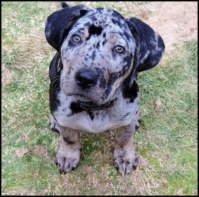 Leopardo de Catahoula