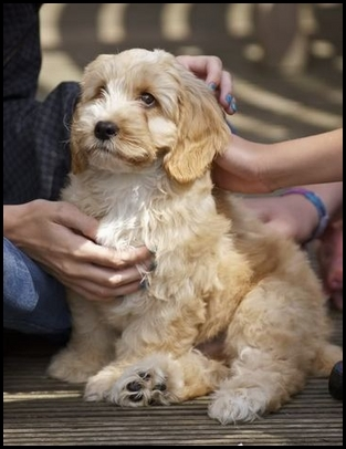 Cockapoo o Cockerpoo