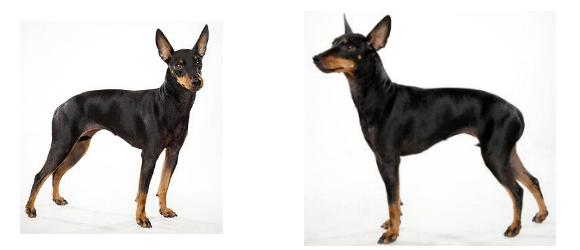 Manchester terrier miniatura o toy