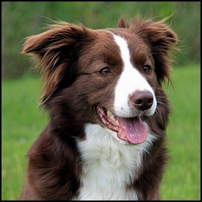 Border collie (10) (Copiar)