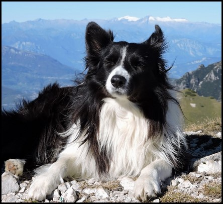 Border collie (14) (Copiar)