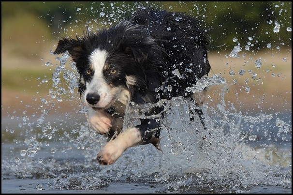 Border collie (15) (Copiar)