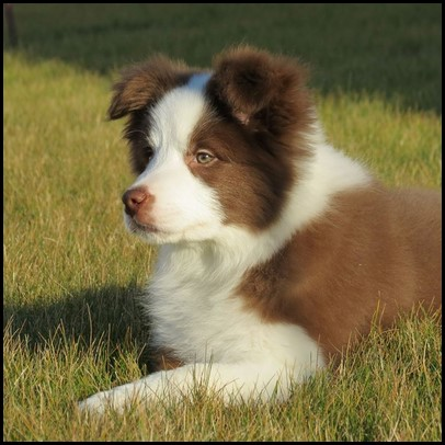 Border collie (19) (Copiar)