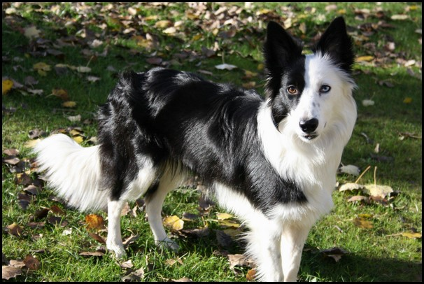 Border collie (8) (Copiar)