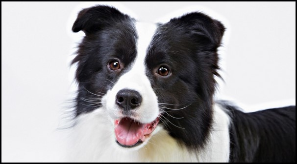 Border collie (9) (Copiar)