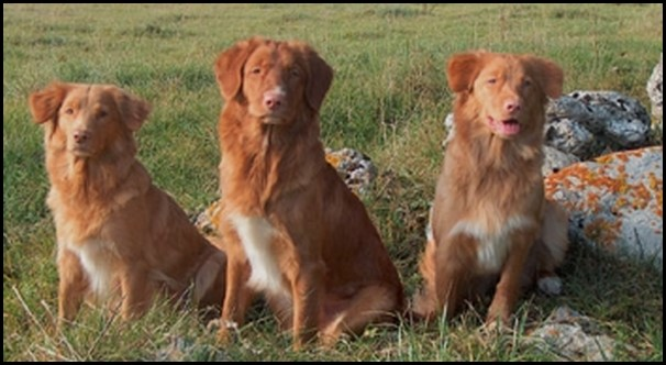 Toller retriever