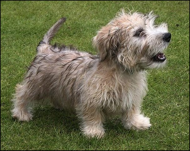Glen of Imaal Terrier