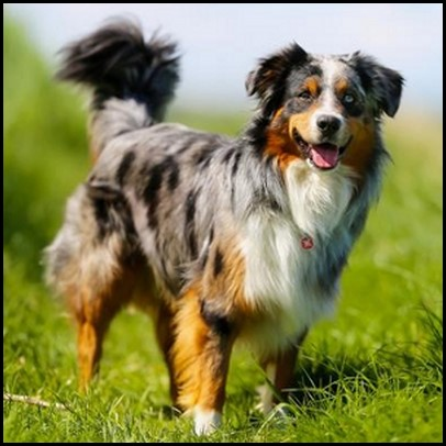 Border collie (11) (Copiar)