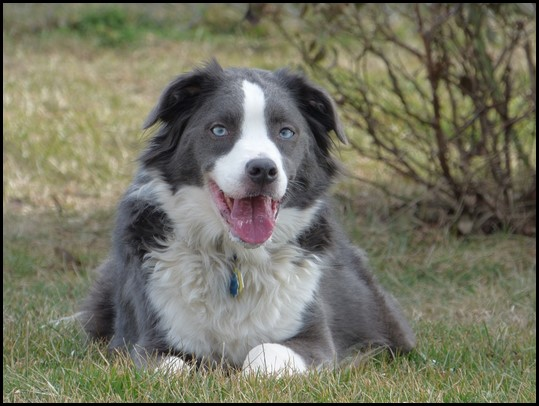 Border collie (16) (Copiar)