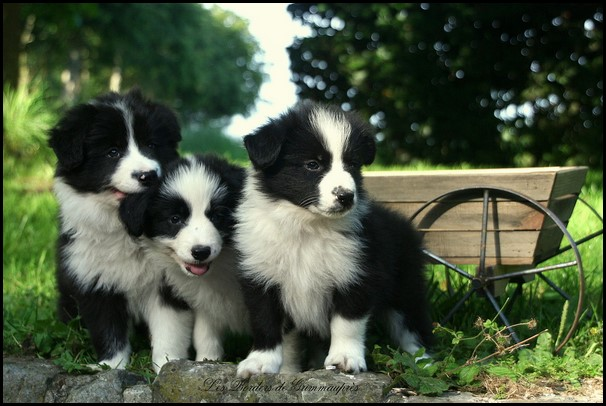 Border collie (2) (Copiar)