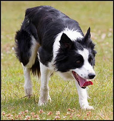 Border collie (23) (Copiar)