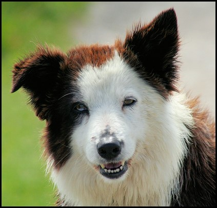 Border collie (5) (Copiar)