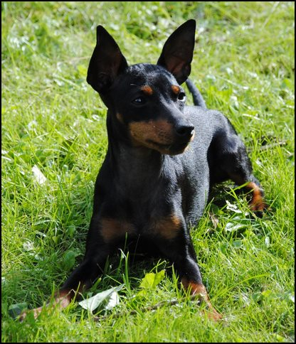 English Black and tan terrier