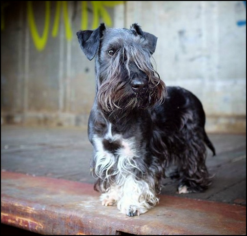 Terrier Checo