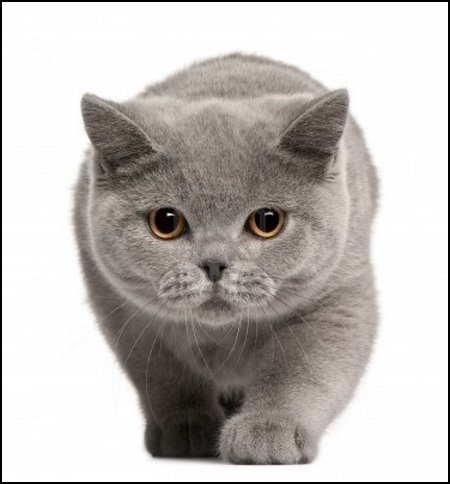 British Shorthair o pelicorto inglés